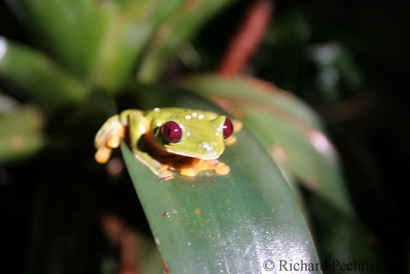 """Gaudy Leaf Frog, Agalychnis callidryas,  in Ranario, """"The Frog Pond"""", Monteverde"""