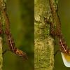 Many-scaled Anole (Anolis polylepis)