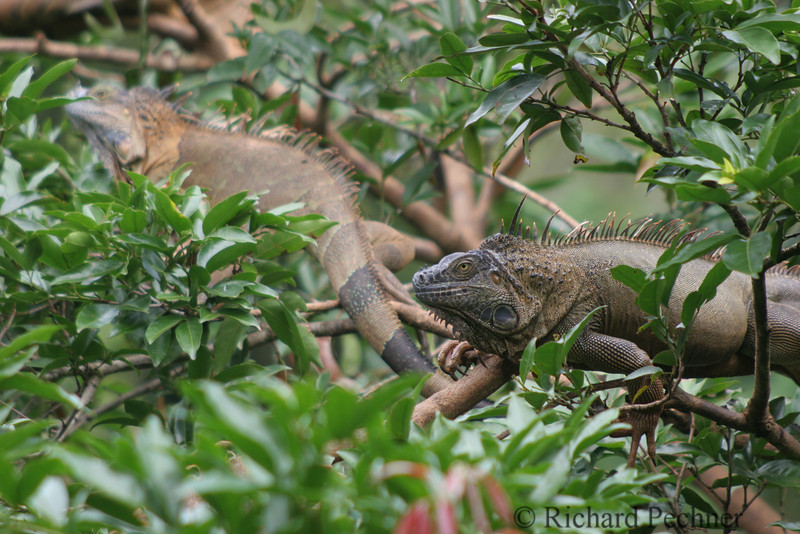 couple of iguanas hanging out in the tress at the Canarias Rest Stop, Muelle, CR