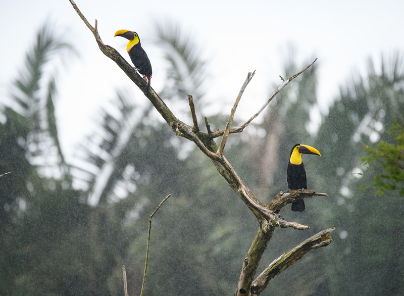 Yellow-throated toucans in the Rain