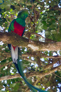ResplendentQuetzal_13Mar2012_1956_SavegreLodge