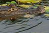 Caimán (<em>Caiman crocodilus</span></em>)/ Spectacled caiman