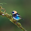 Golden Hooded Tanager (male)