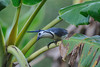 Costa Rican blue jay