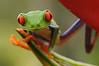 Ranita de ojos rojos (<em>Agalychnis callidryas </span></em> )/ Red-eyed tree frog