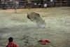 bullfight teaser takes a big hit