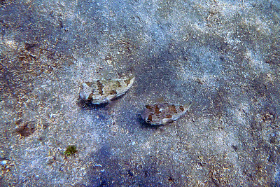 Two pufferfish
