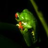Red-eyed Tree Frog (Agalychnis callidryas) 2