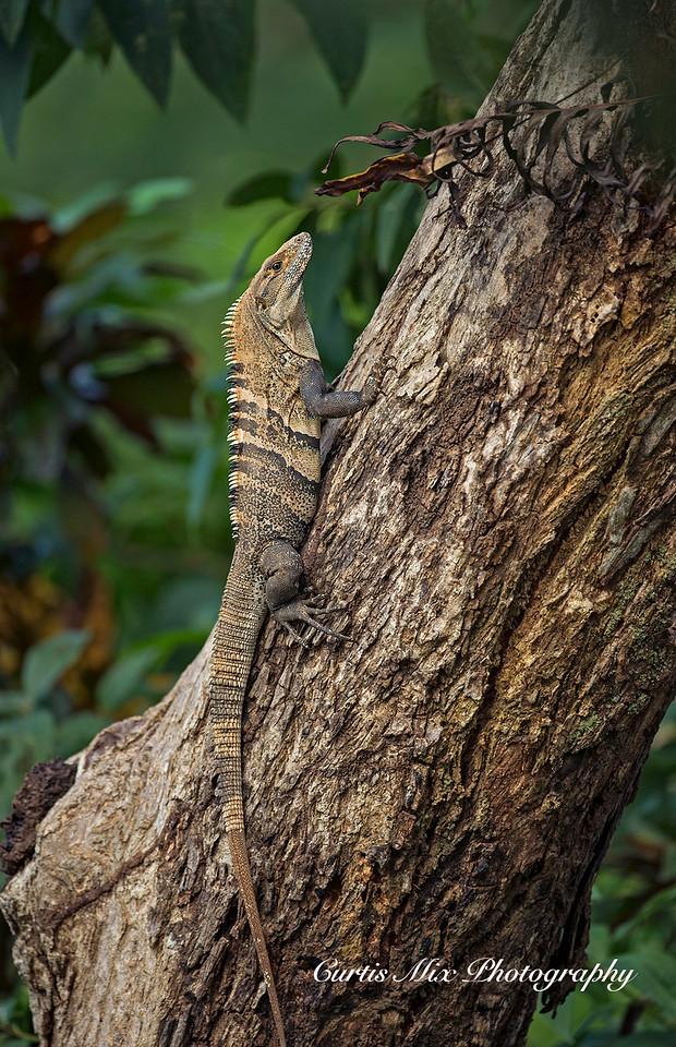 Spiny-tailed Black Iguana.