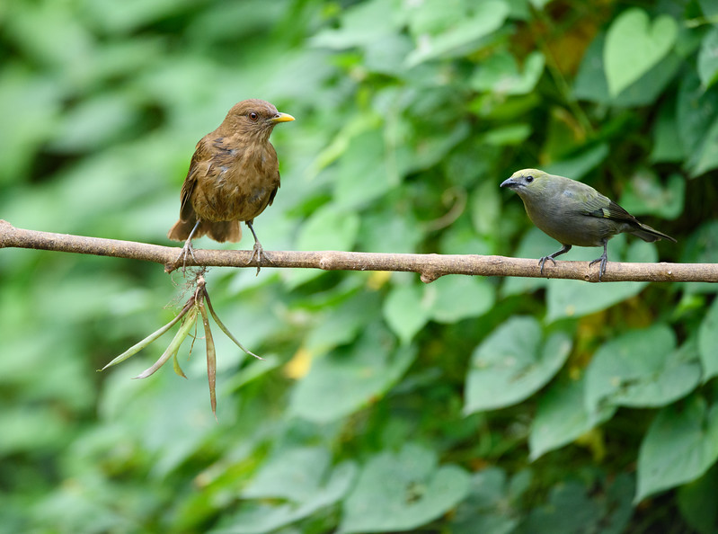 Clay-colored Tanager, Palm Tanager