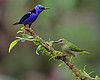 Red-legged Honeycreepers (Male and Female)