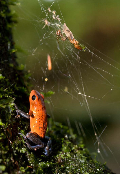 Strawberry Poison Dart Frog Stealing from Spider's Catch
