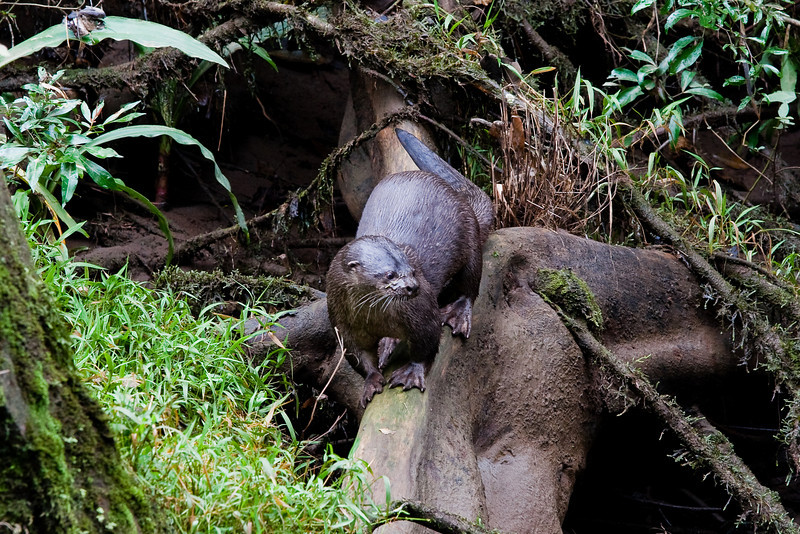 Neotropical Otter (Lontra longicaudis) or Neotropical River Otter