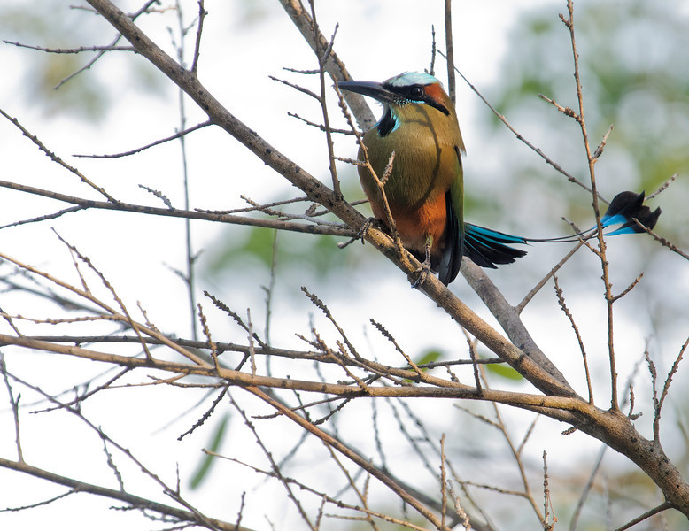Turquoise-crowned Motmot