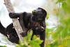 howler monkies