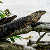 Spiny-tailed Iguana (Ctenosaura similis) 5