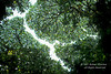 Crown Shyness Gaps in Tree Canopy of Tropical Rain Forest, Costa Rica, Central America