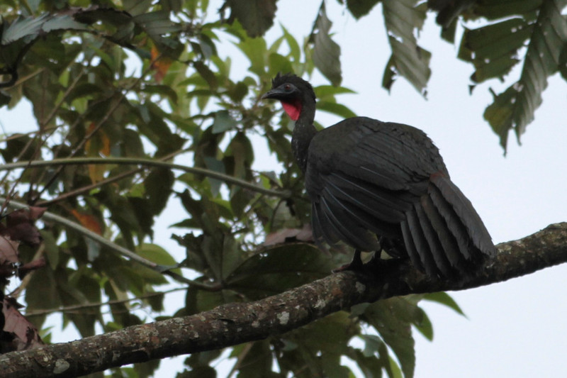 Wild Turkey, Arenal Observatory Lodge