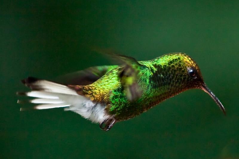 Coppery-Headed Emerald (Elvira Cupreiceps) Hummingbird
