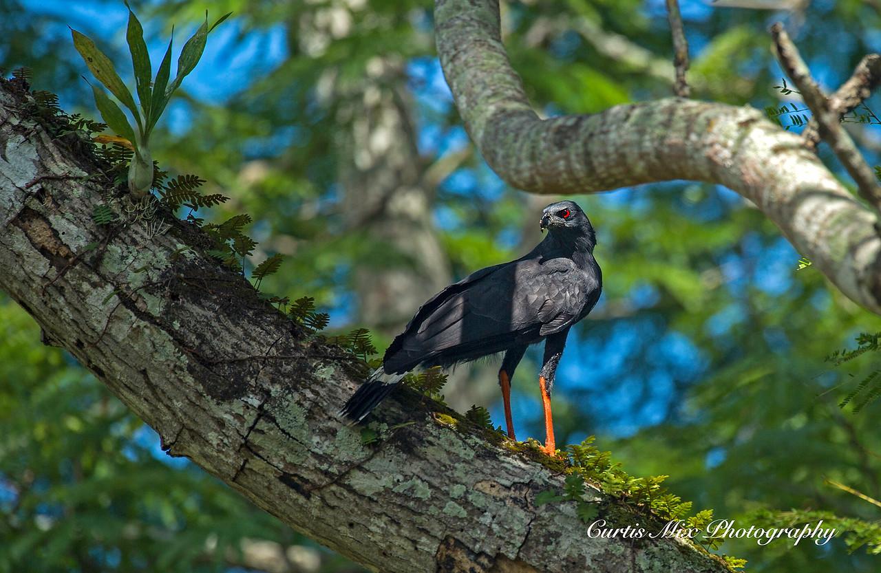 Crane Hawk.