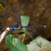 Great Spreadwing Damselfly (Archilestes grandis)