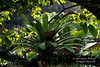 Bromiliad, Rain Forest Vegetation, Lake Coter Eco Lodge, Private Biological Reserve, Northern Pacific Mountains, Arenal Lake Region, Costa Rica, Central America