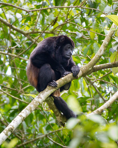 MantledHowlerMonkey_08Mar2012_0205_SelvaVerde