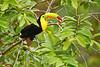 Tucán pico iris (<em>Ramphastos sulpuratus</span></em>)/ keel billed toucan