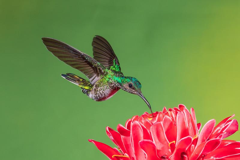 Green-crowned Brilliant Hummingbird (female)