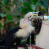White face monkey's drinking out of a water facet at Manuel Antonio National Park
