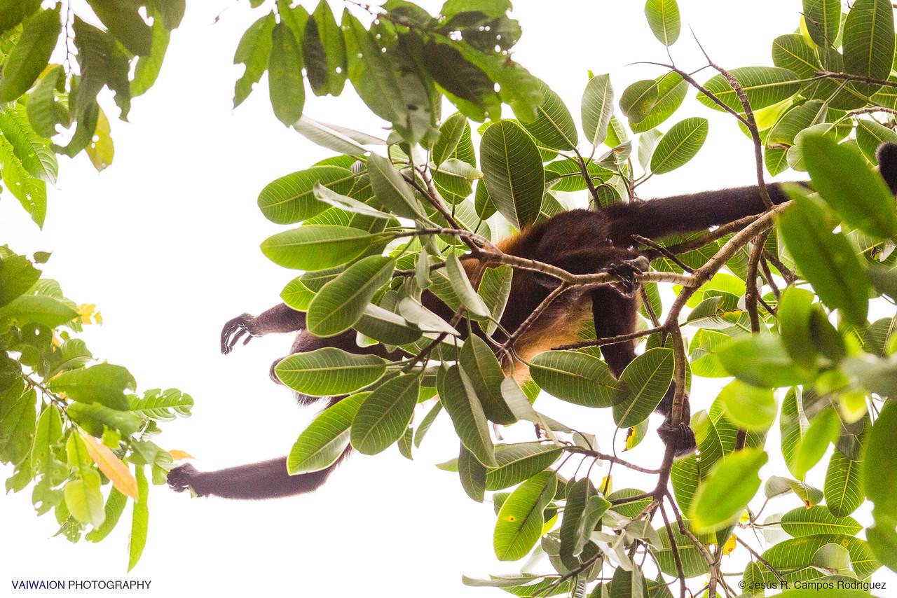 Black-handed spider monkey feeding