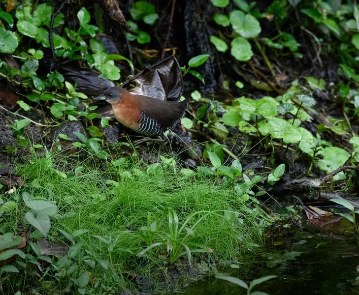Black-crowned Antpita