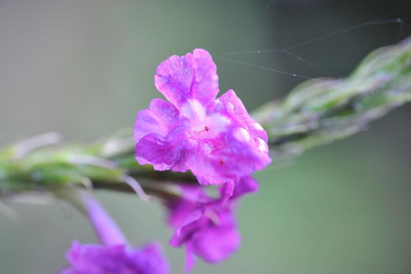 Purple flower w/spider web