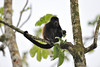 howler monkey snack