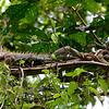 Green Iguana (Iguana iguana) a.k.a. Common Iguana