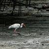 White Ibis (Eudocimus albus) 2