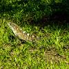Spiny-tailed Iguana (Ctenosaura similis) 3