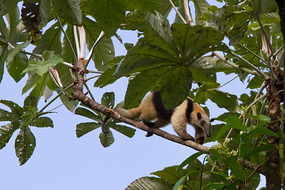 CollaredAnteater_09Mar2012_0085_BraulioCarillo