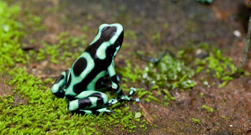 Turquoise Poison Dart Frog