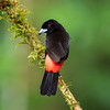 Passerini's Tanager (male)