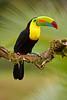 Tucán pico iris (<em>Ramphastos sulphuratus</span></em>)/ keel billed toucan