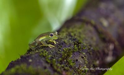 Glass Frog.