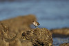small shorebird