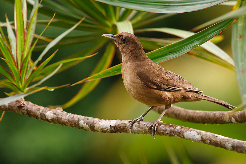 Yigüirro (<em>Turdus grayi</span></em>). Ave Nacional de Costa Rica./ Clay-colored robin.