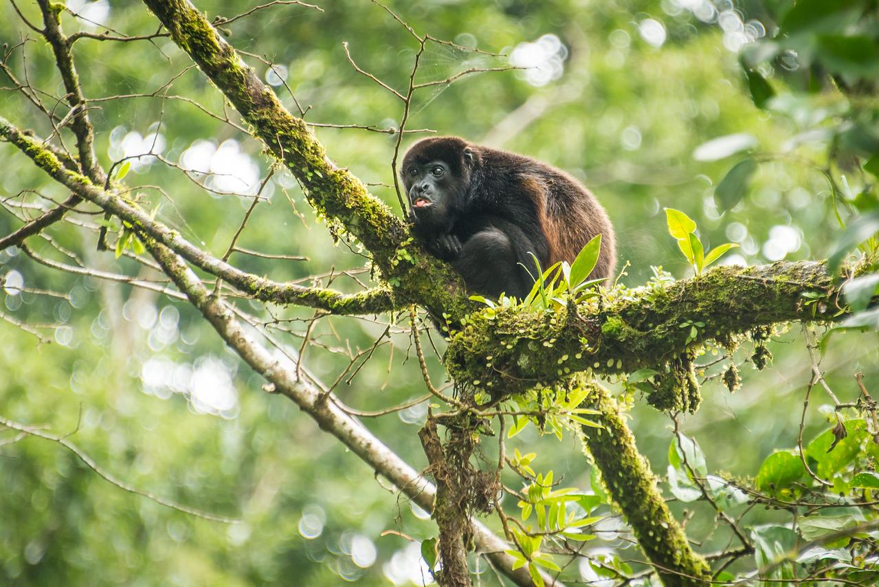 Howler Monkey in Guanacaste, Cost Rica - December 2014