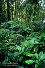 Rain Forest Vegetation, Lake Coter Eco Lodge, Private Biological Reserve, Northern Pacific Mountains, Arenal Lake Region, Costa Rica, Central America