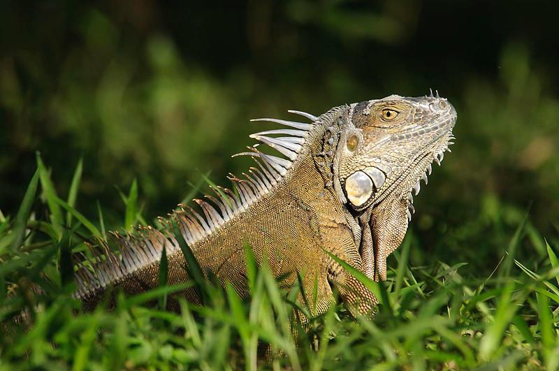 Iguana (<em>Iguana iguana</span></em>)/ Green iguana