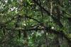 Peeking Toucan