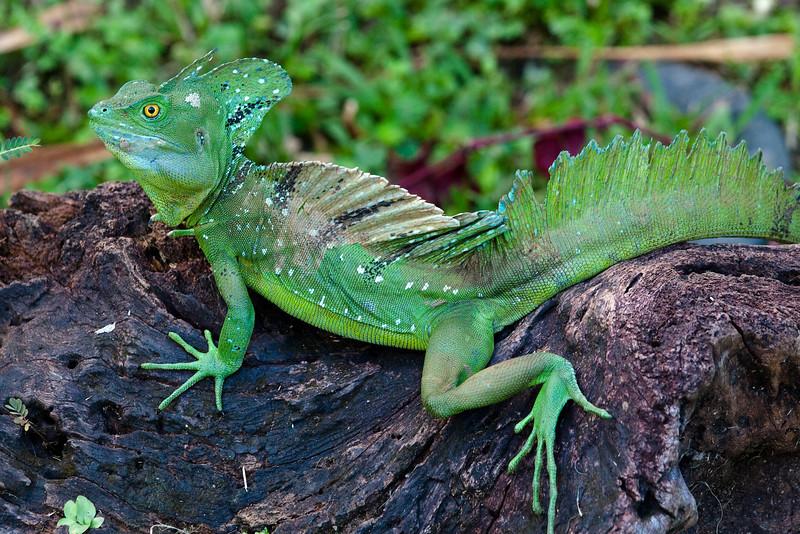 Plumed Basilisk (Basiliscus plumifrons) a.k.a. Green Basilisk, Jesus Lizard or Jesus Christ Lizard