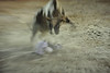 bullfight bull takes another hit